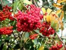 Рбиновые гроздья