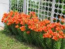 Оранжевые лилии...