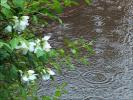 Летний дождь и  жасмин...