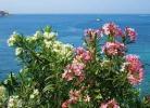 Олеандры и море