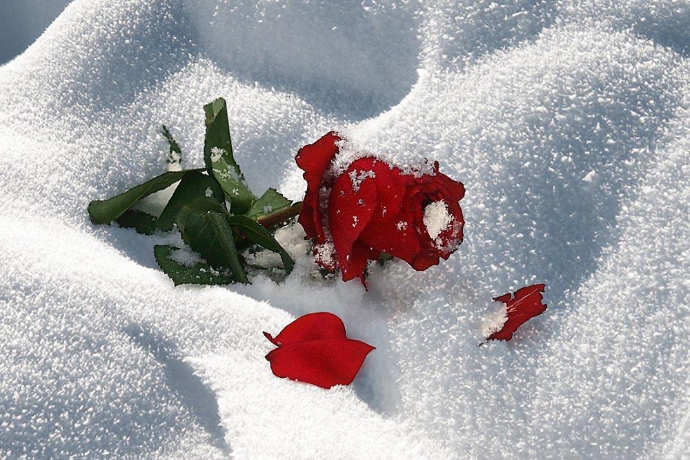 Гифка роза на снегу, смешными кошками картинки
