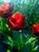 Тюльпаны... Подарок от автора Светлана Дон-Ская