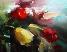 Тюльпаны (Рис. С.Хорликова) Подарок от автора Olik Yolkina