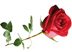 алая роза Подарок от автора Любовь Майорова