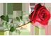 алая роза Подарок от автора Елена Русич