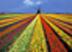 Тюльпановое поле Подарок от автора yunona